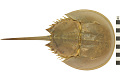 View Horseshoe Crab digital asset number 2