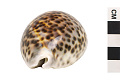 View Tiger Cowrie, Tiger Cowrie shell digital asset number 2