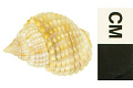 View Jeweled Dog Whelk, Jeweled Dog Whelk / Nassa, nassa digital asset number 2