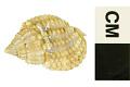 View Jeweled Dog Whelk, Jeweled Dog Whelk / Nassa, nassa digital asset number 3