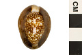 View Serpent's Head Cowrie, Serpent's-head Cowrie, Serpent's Head Cowrie digital asset number 3