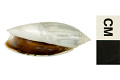 View Panama False Olive digital asset number 2