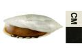 View Panama False Olive digital asset number 6