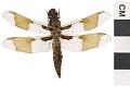 View Common Whitetail, Common Skimmer, Common Skimmer digital asset number 2