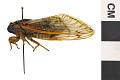 View Seventeen-year Cicada, Periodical Cicada digital asset number 4