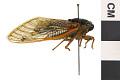 View Seventeen-year Cicada, Periodical Cicada digital asset number 2