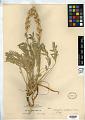 View Oxytropis sericea Nutt. var. sericea digital asset number 0