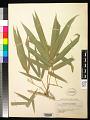 View Bambusa vulgaris Schrad. ex J.C. Wendl. digital asset number 0