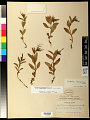 View Epilobium hornemannii subsp. behringianum (Hausskn.) Hoch & P.H. Raven digital asset number 0
