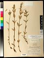 View Epilobium ciliatum subsp. glandulosum (Lehm.) Hoch & P.H. Raven digital asset number 0