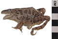 View Pickerel Frog digital asset number 2