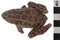 View Pickerel Frog digital asset number 3