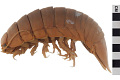 View Giant Isopod digital asset number 3