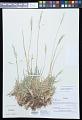 View Nicoraepoa pugionifolia (Speg.) Soreng & L.J. Gillespie digital asset number 0