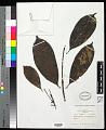 View Pausinystalia brachythyrsa (K. Schum.) De Wild. digital asset number 0