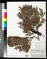 View Dacrycarpus imbricatus var. patulus de Laub. digital asset number 0