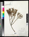 View Dacrycarpus imbricatus (Blume) de Laub. digital asset number 0