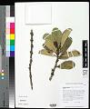 View Melicope haleakalae (B.C. Stone) T.G. Hartley & B.C. Stone digital asset number 0