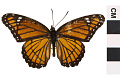 View Viceroy, Viceroy butterfly digital asset number 0