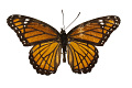 View Viceroy, Viceroy butterfly digital asset number 2