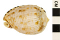 View Reticulated Cowrie-helmet, Senegal Cowrie-helmet digital asset number 0