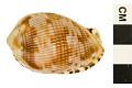 View Reticulated Cowrie-helmet, Senegal Cowrie-helmet digital asset number 2