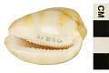 View Reticulated Cowrie-helmet, Senegal Cowrie-helmet digital asset number 4