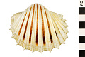 View Great Ribbed Cockle digital asset number 1
