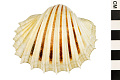 View Great Ribbed Cockle digital asset number 0