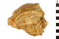 View Turnip Shell, Cantaloupe digital asset number 1