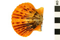 View Rough Scallop, Rough American Scallop digital asset number 0