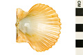 View Rough Scallop, Rough American Scallop digital asset number 2