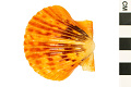 View Rough Scallop, Rough American Scallop digital asset number 1
