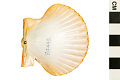 View Rough Scallop, Rough American Scallop digital asset number 3
