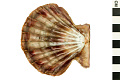 View Lions-paw Scallop, Lion's Paw digital asset number 2