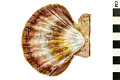 View Lions-paw Scallop, Lion's Paw digital asset number 0
