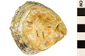 View European Flat Oyster, Common European Oyster digital asset number 3