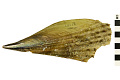 View Prickly Pen Shell digital asset number 1