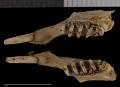 View Urocitellus armatus digital asset number 2