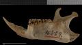 View Urocitellus armatus digital asset number 3