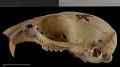 View Callospermophilus lateralis bernardinus digital asset number 1