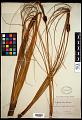 View Desmoschoenus spiralis (A. Rich.) Hook. f. digital asset number 0