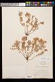 View Epilobium suffruticosum Nutt. ex Torr. & A. Gray digital asset number 0