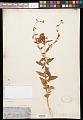 View Clarkia unguiculata Lindl. digital asset number 0