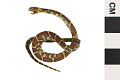 View Milk Snake digital asset number 0