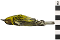 View Cape May Warbler, Cape May Warbler digital asset number 0