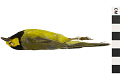 View Hooded Warbler, Hooded Warbler digital asset number 3