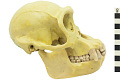 View Chimpanzee digital asset number 1
