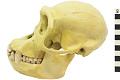 View Chimpanzee digital asset number 2
