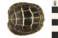 View Eastern Painted Turtle digital asset number 0